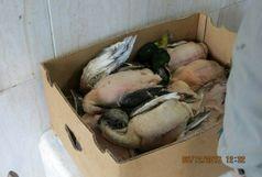 پرندگان شکار شده از بازار محلی آستانه اشرفیه جمع آوری شدند