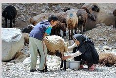 شیر تولیدی عشایر اردبیل به نام استانهای دیگر وارد بازار میشود