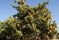 درختی عجیب با میوه الکل دار در آفریقا!