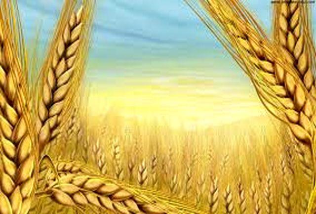 پیش بینی تولید یک میلیون و 400 هزار تن گندم و جو در استان کرمانشاه
