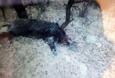 دستگیری شکارچی گراز در سفید کوه خرم آباد