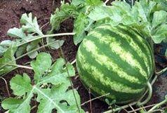 5هزار و 600 تُن هندوانه بذری در خراسان شمالی برداشت می شود