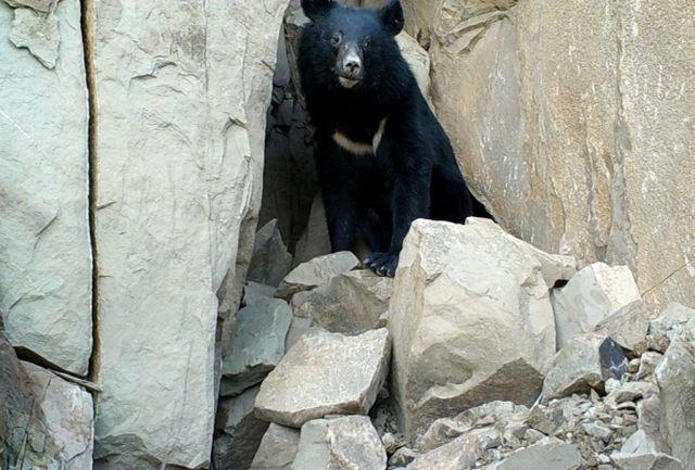 ثبت تصاویر خرس سیاه آسیایی در زیستگاه های بشاگرد، هرمزگان