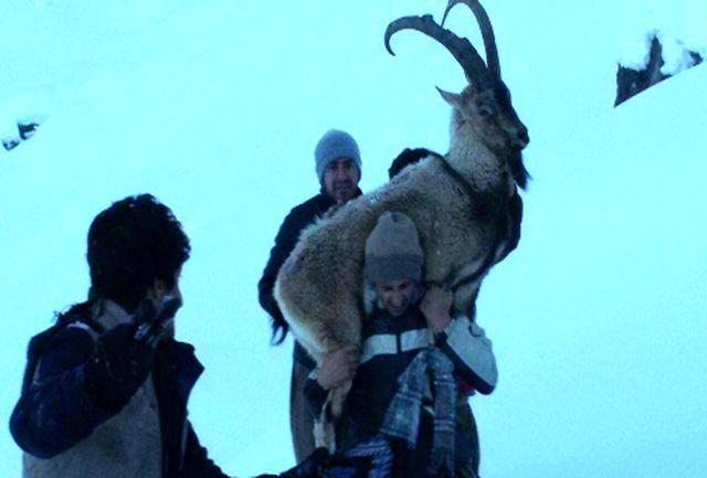 """""""کل وحشی"""" گرفتار در برف اورامان نجات یافت"""