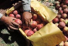 رکود بیسابقه تولید محصول سیب درختی در مشگین شهر
