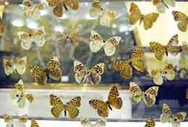 اگر پروانههای زاگرس منقرض شوند...
