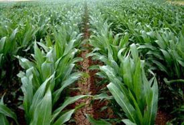 پیشبینی کشت 17 هزار هکتار ذرت دانه ای در مزارع شهرستان کرمانشاه