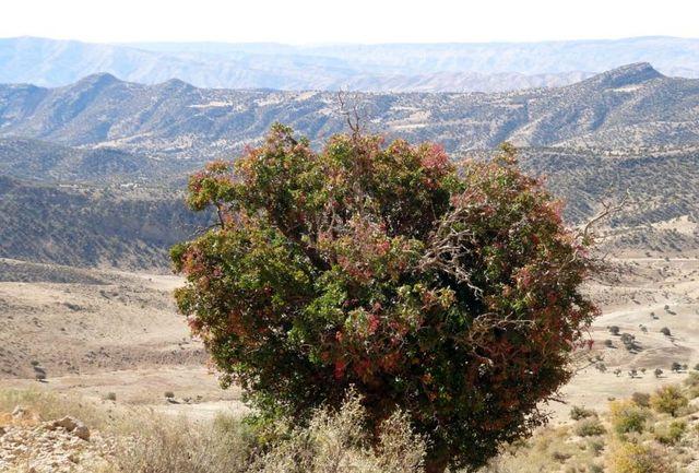 ممنوعیت برداشت سقز از درختان بنه در چهارمحال وبختیاری