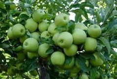 اهدای میوه هزار درخت سیب به نیازمندان