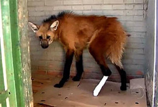 گرگ برزیلی شفا یافت
