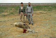 مرگ  گراز وحشی براثر تصادف خودرو