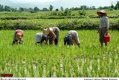 درآمد 12میلیاردی برنجکاران دره شهری