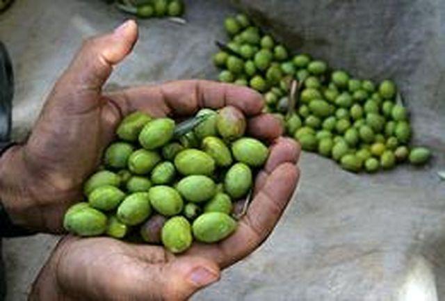 برداشت زیتون از 850 هكتار باغات دالاهو