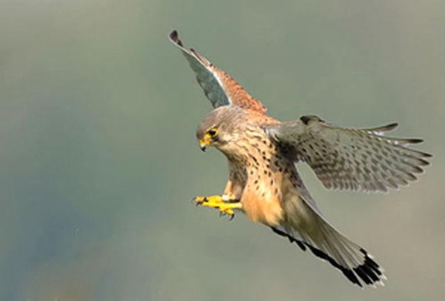 رهاسازی 2 قطعه پرنده شکاری در تالاب گندمان