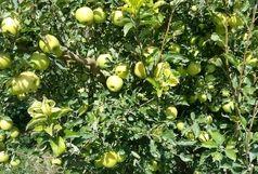 افزایش ۲۰ درصدی تولید سیب درختی در تکاب