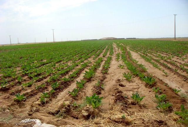 تولید 114هزار تن چغندر قند توسط کشاورزان قزوینی