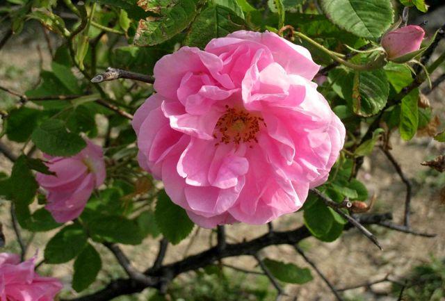 گل محمدی چهارمحال وبختیاری با کیفیت ترین گل تولیدی در سطح کشور