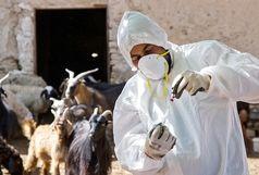۱۳ میلیون نوبت سر واکسیناسیون دام در استان کرمانشاه انجام گرفته است