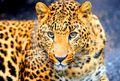 ثبت پناهگاه حیات وحش حیدری به عنوان زیستگاه تازۀ پلنگ ایرانی و سمور سنگی