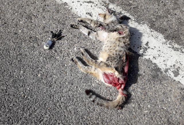 مرگ گربه وحشی در جاده خرم آباد- الشتر