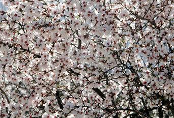 شکوفههای بهاری در شیراز